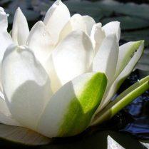cropped-lotus1.jpg